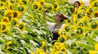 """日照時間日本一の明野に今年も""""太陽の花""""! 60万本のひまわりが咲く明野サンフラワーフェス"""