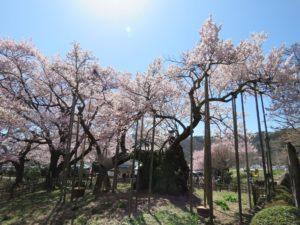 八ヶ岳に春を告げる日本三大桜のひとつ・山高神代桜! 神代桜まつりは3月28日から予定