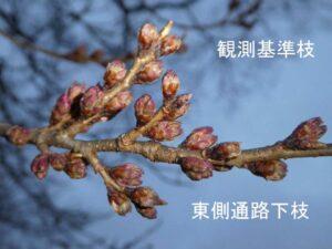【八ヶ岳 桜速報2019】本格シーズンはまだ先…だけど、韮崎「わに塚の桜」は蕾が!