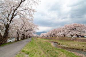 4kmに及ぶ桜のアーチ! 諏訪湖に続く川沿いで「横河川桜祭り」、今年もまもなく開催
