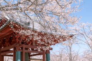 【八ヶ岳百景 特別編】日本三大桜や本州最後の桜など八ヶ岳の桜スポットを写真で紹介