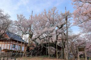 【八ヶ岳百景 桜だより2021】山梨側に桜前線…山高神代桜、わに塚のサクラなどが見ごろに